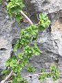 Ribes orientale 2.jpg