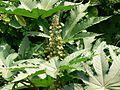 Ricinus communis (537093815).jpg