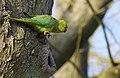 Ring-necked parakeet (Psittacla krameri), Parc de Woluwé, Brussels (32954123946).jpg