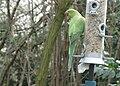 Ringnecked Parakeet - Feral 3.jpg