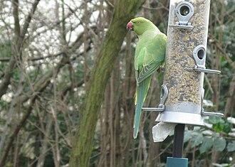 Feral parakeets in Great Britain - A parakeet on a bird feeder in Kensington Gardens, London