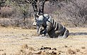 Rinoceronte blanco (Ceratotherium simum), Santuario de Rinocerontes Khama, Botsuana, 2018-08-02, DD 09.jpg