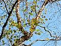 River Birch (31016283935).jpg