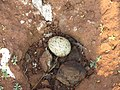 River tern-Nest 15 - Koyna 042011.JPG