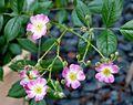 Rosa 'Mozart' 3.jpg