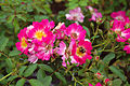 Rosa 'Pink Drift' 1.jpg