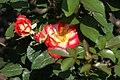 Rosa Betty Boop 3zz.jpg