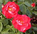 Rosa Orange Sensation.jpg