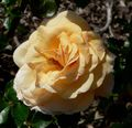 Rosa Peachy 1.jpg