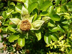 Rosa bracteata 1.JPG