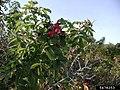 Rosa rugosa fruit (51).jpg