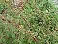 Rosa sericea pteracantha shrub.jpg