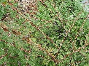 Rosa sericea - A shrub of Rosa sericea f. pteracantha