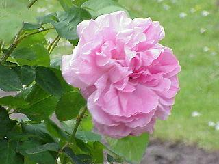 Rosa sp.196.jpg