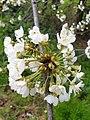 Rosales - Prunus cerasus - 17.jpg