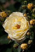 Rose, Golden Border - Flickr - nekonomania (4).jpg