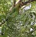 Rose-ringed Parakeet (Psittacula krameri) feeding on Azadirachta indica (Neem) W IMG 8122.jpg