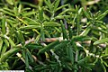 Rosmarinus Officinalis Salem 2zz.jpg