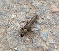 Rove Beetle possibly Ocypus aeneocephalus. Staphylinidae (36962830353).jpg