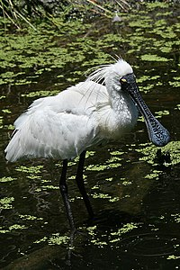 Royal-(or-Black-billed)-Spoonbill-1,-Vic,-3.1.2008.jpg