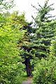 Rozdil-Pinus-Strobus.jpg