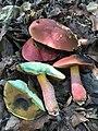 Rubroboletus rhodosanguineus (Both) Kuan Zhao & Zhu L. Yang 768974.jpg
