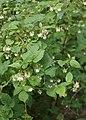 Rubus idaeus kz02.jpg