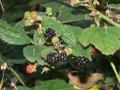 Rubus laciniatus3.jpg