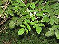 Rubus niveus - Mysore Rasp berry at Mannavan Shola, Anamudi Shola National Park, Kerala (18).jpg