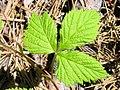 Rubus pubescens 4 (5097948124).jpg