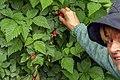 Rubus spectabilis 02(js).jpg