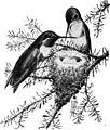Ruby-throated Hummingbird (small engraving).jpg
