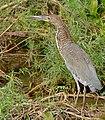 Rufescent Tiger Heron (Tigrisoma lineatum) immature ... (30851603943).jpg