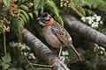 Rufous-collared Sparrow - La Georgina - Costa Rica MG 6234 (26073170244).jpg