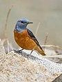 Rufous-tailed Rock-thrush (Monticola saxatilis) (48920637857).jpg