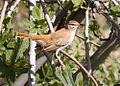 Rufous-tailed scrub robin.jpg