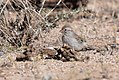 Rufous-winged Sparrow (33590950370).jpg
