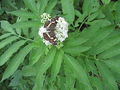 Rusenski Lom butterfly4.jpg