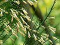 Russelia equisetiformis lutea (2114985182).jpg