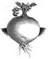 Rutabaga à collet vert Vilmorin-Andrieux 1883.png