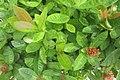 SZ 深圳 Shenzhen 南山 Nanshan District 南海大道 1059 Nanhai Blvd Dayhello Hotel red flowers green leaves Sept 2017 IX1 大王紅仙丹 Ixora 03.jpg