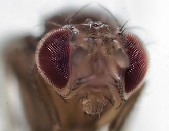 Drosophilidae - Image: Sa fruitfly 4