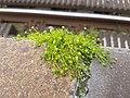 Sagina procumbens sl14.jpg