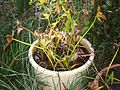 Sagittaria trifolia L.JPG