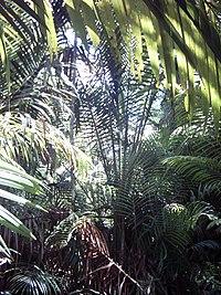 Sago (Metroxylon sagu) in New Guinea.jpg