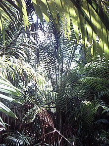 Sago (Metroxylon sagu) in New Guinea.jpg