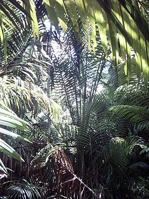 Sagopalmen (Metroxylon sagu) in Papua-Neuguinea.