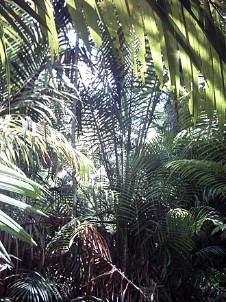 Sago - Sago palms (Metroxylon sagu) in New Guinea