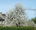 Saint-Cyr-l'École arbre en fleurs P1060833.JPG