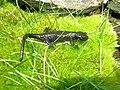 Salamandra lanzai03.jpg